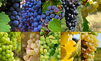 """Grape variety"" for Wine Beginner By Lucaris."